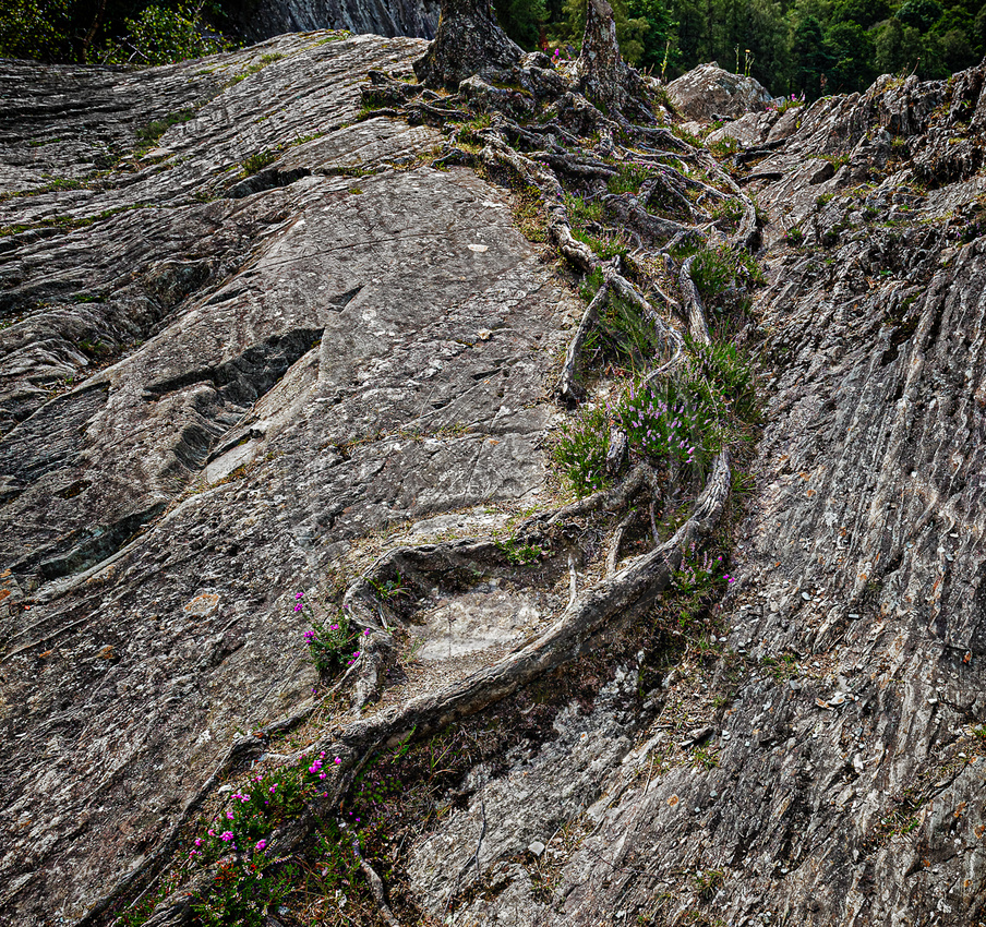 Tree roots growing in rock at top of quarry face